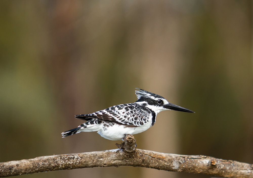 Pied Kingfisher-1-4.jpg