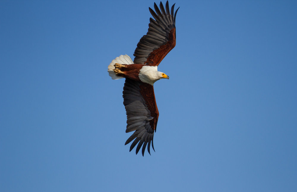 Fish Eagle on Flight (Mature)
