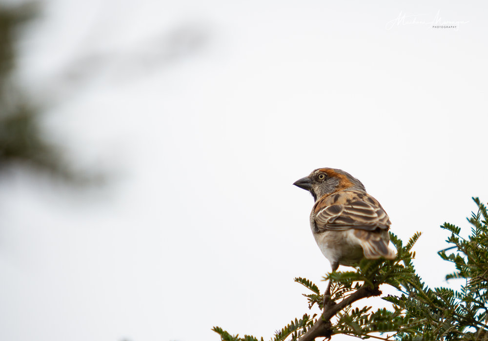 Male Rufous Sparrow