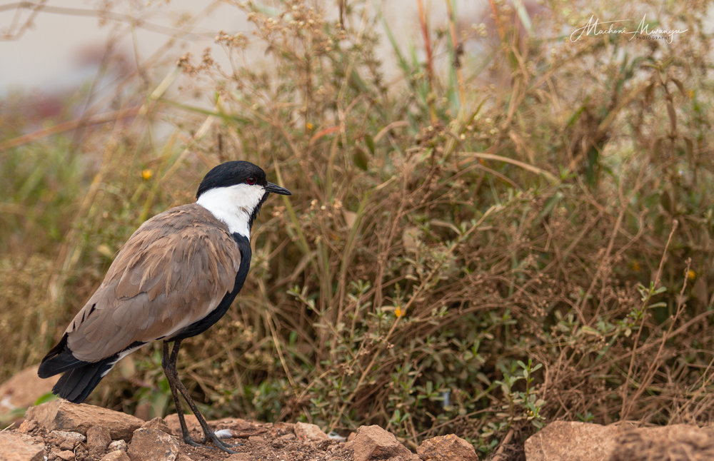 Crowned Plover at the Hippo pools