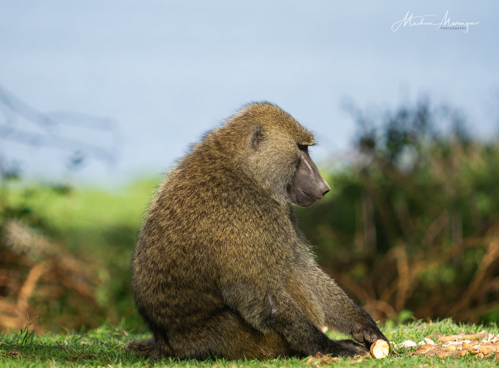 Side Portrait of a Baboon