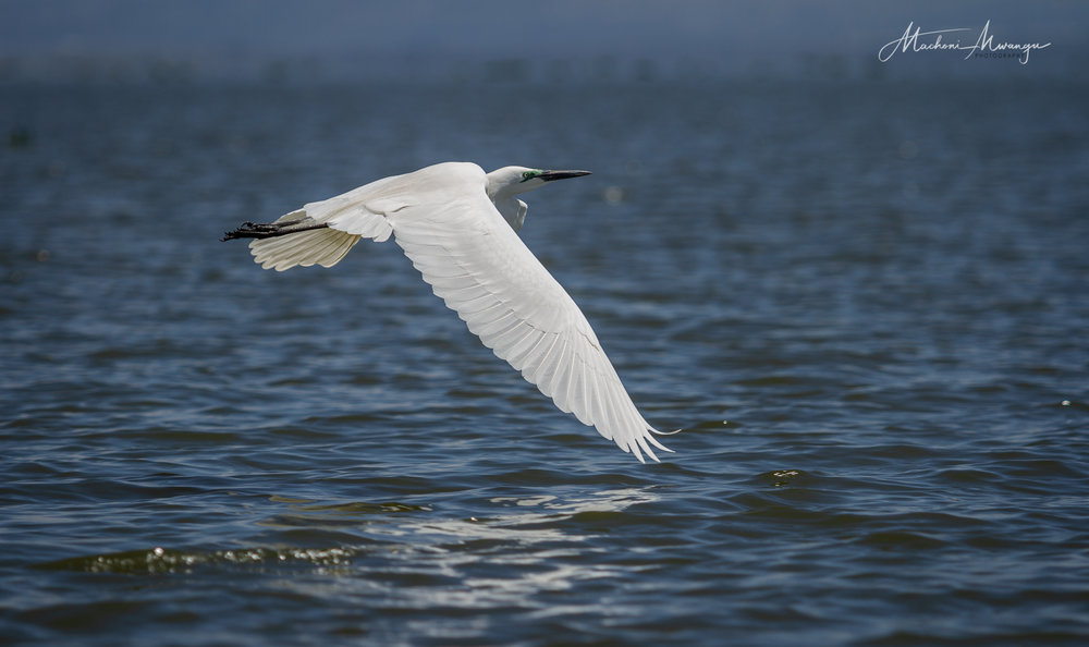 Low Flying Great Egret