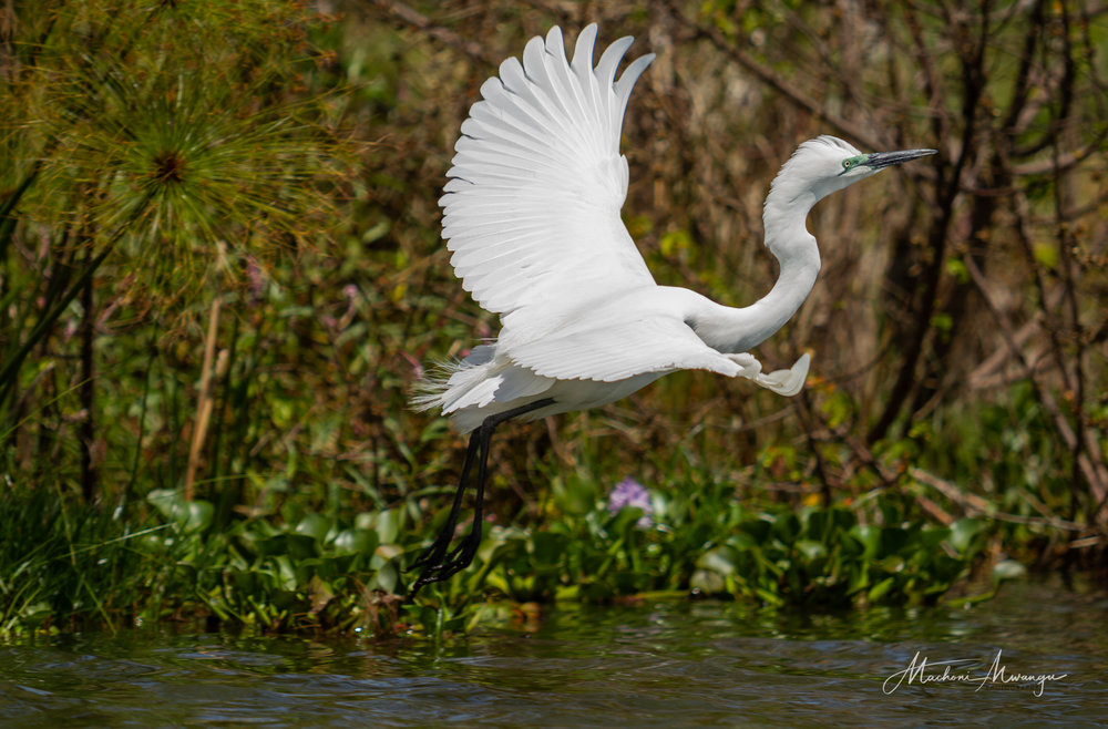 Great Egret on take off