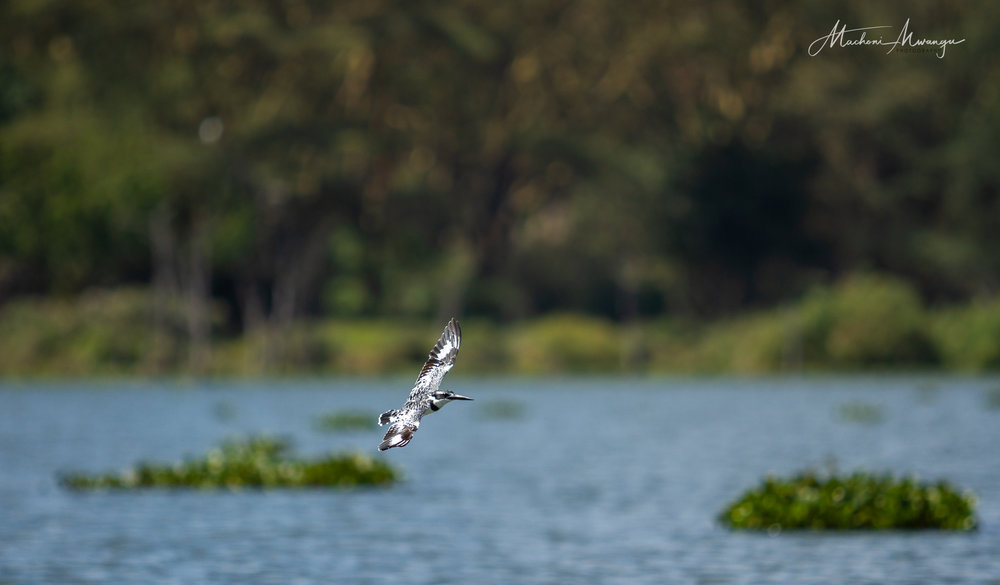 Pied Kingfisher on flight