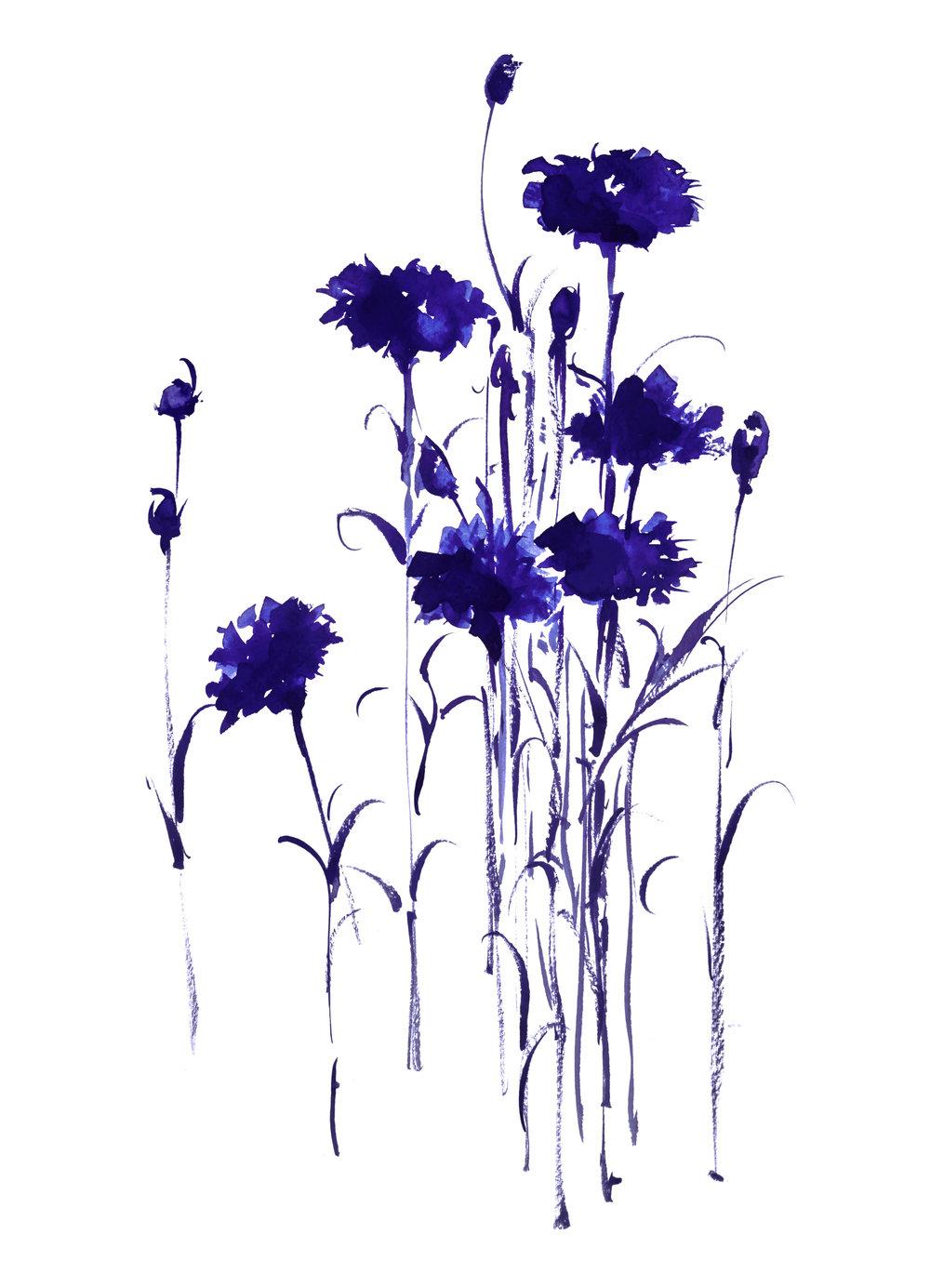 Botanical Study Bachelor Button 4 - Watercolor11 x 14