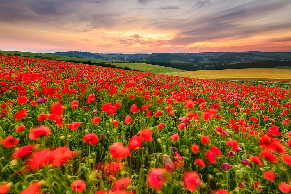 The Sea of Poppies