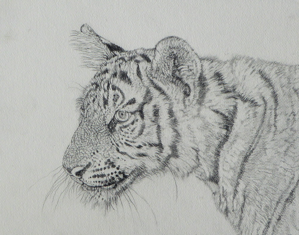 Tiger-Video Sketch1.jpg