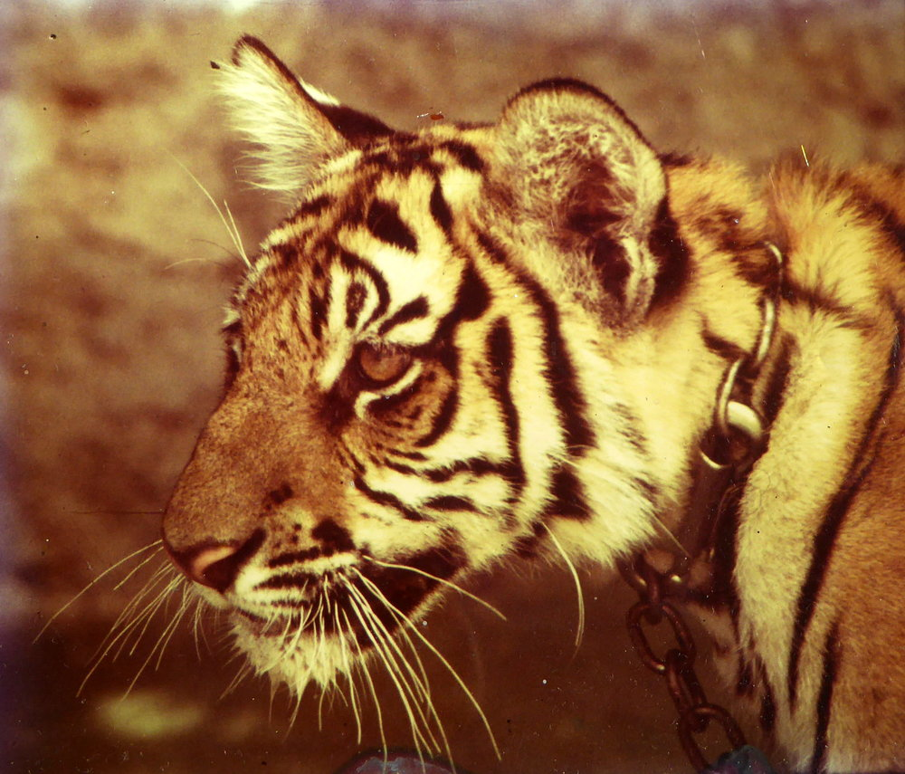 JMV-Tiger-Cub-Ref-Photo.jpg