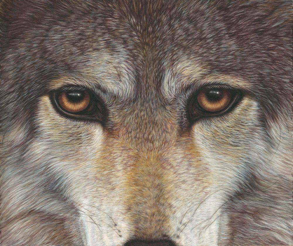 _Grey_Wolf_25SmlRot.jpg
