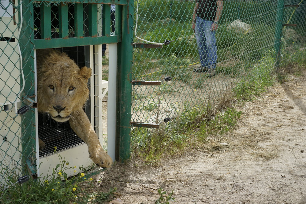 Simba taking tentative steps into her new home in Jordan. Photo by Four Paws.