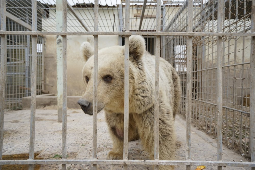 Lula the bear was found in the abandoned Mosul Zoo. Photo by Four Paws.