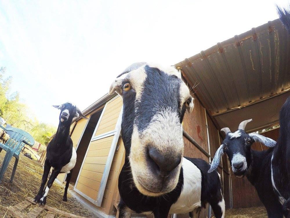 Nubian+Family+Goats.jpg