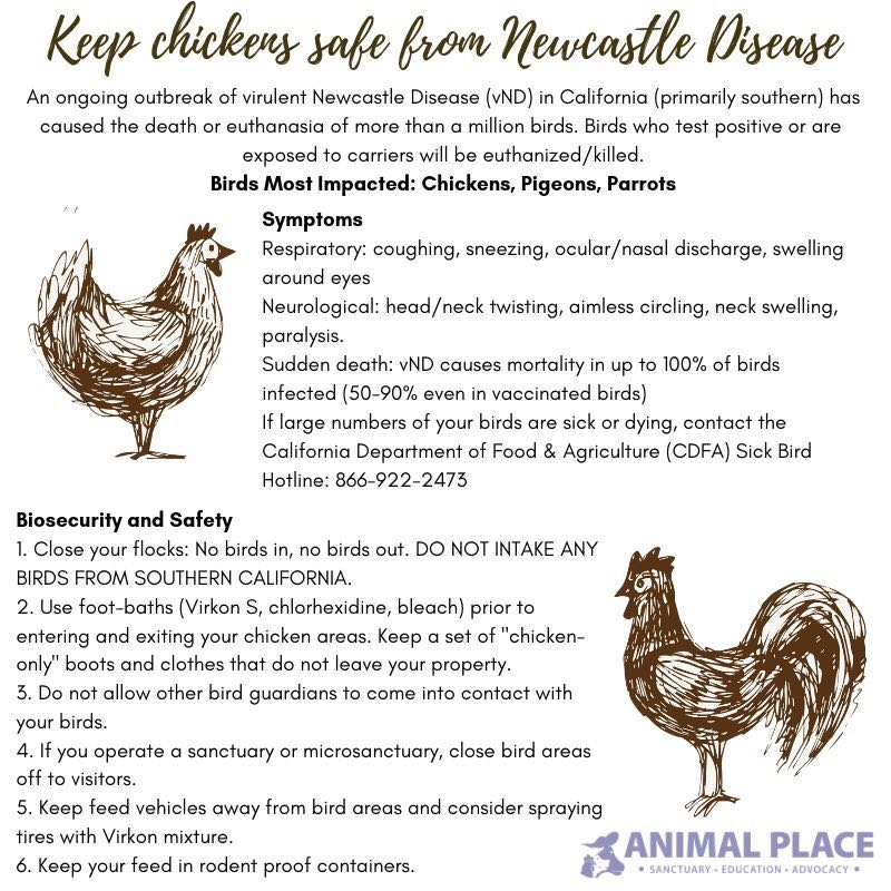Update on Rancho Compasión's Chickens and Newcastle Disease - Since June of 2018, cases of Newcastle Disease, a contagious viral disease affecting the respiratory, nervous and digestive systems of birds and poultry, has been spreading through backyard exhibition chickens in Los Angeles and San Bernardino counties in Southern California. In March of this year, a backyard rooster in Redwood City tested positive for the disease and was euthanized.Please view the information contained in the image to the right for more information about Newcastle Disease, its symptoms, how you can protect your animals from the disease, and how you can help to prevent the disease from spreading further.As of April 2019, Rancho Compasión's chickens and turkeys have not been impacted by Newcastle Disease.In order to minimize the risk of Newcastle Disease infecting our poultry population, we have temporarily declared our chickens and turkeys off-limits to visitors of Rancho Compasión.Please visit the Animal Place website for additional information about Newcastle Disease.