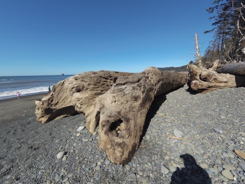 Like a dinosaur, but a tree.
