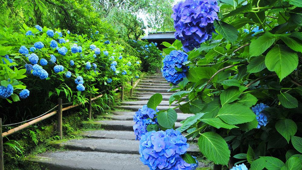 Ajisai Rainy Season.jpg