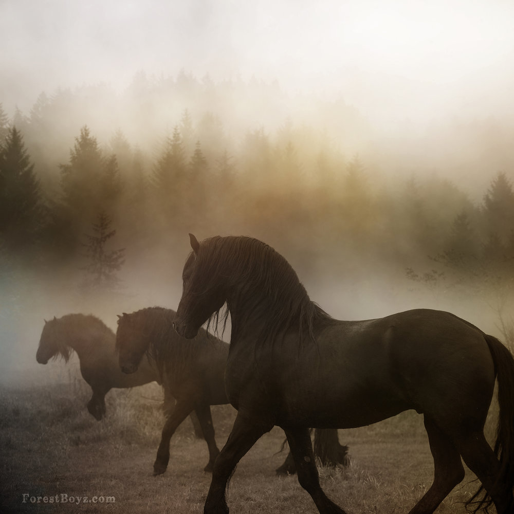 Friesians in the mist