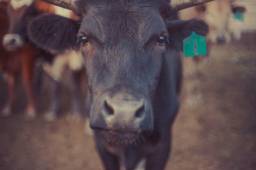 dmantis bull.jpeg