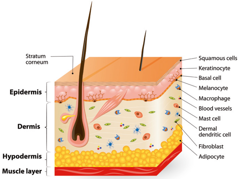 building blocks of the skin.jpg