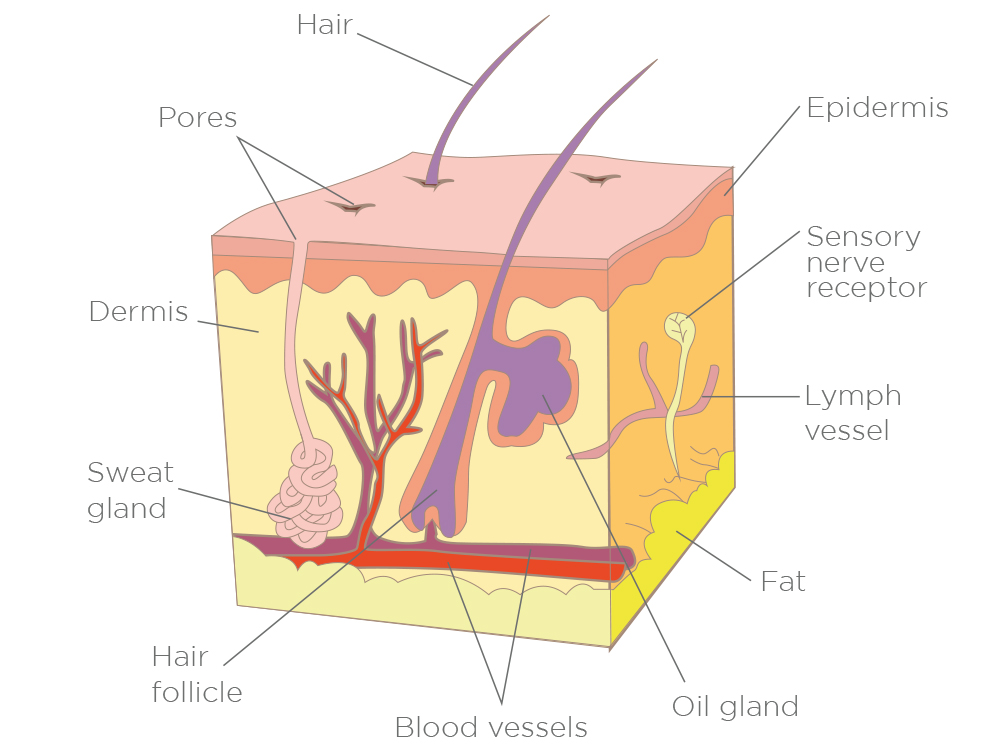 Figure 10.  The outer skin (epidermis) is firmly held in place by finger like projections.