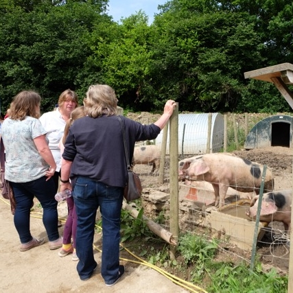 Visitors meeting the pigs...
