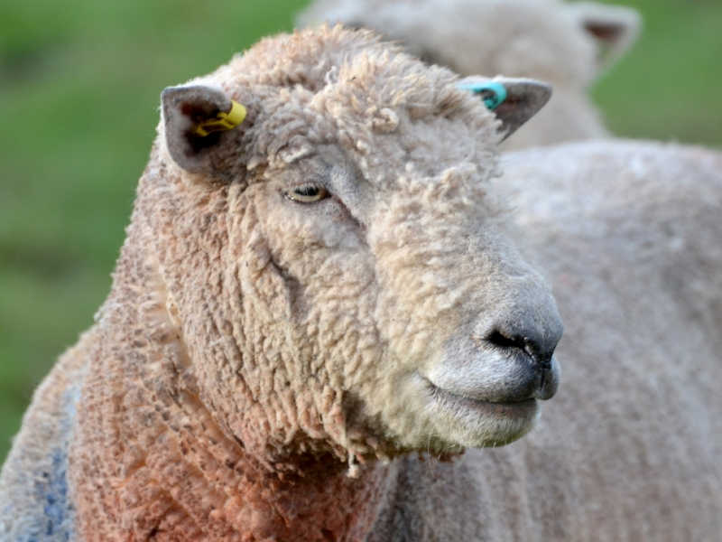 southdown-sheep-at-hill-house-farm.jpg