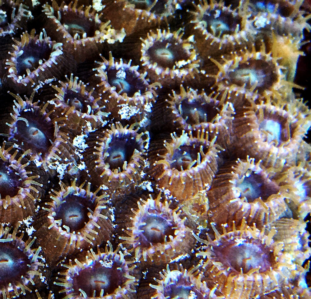 Montastraea cavernosa  polyps in the Coral Reef Futures Lab's indoor semi-recirculating tanks, tentacles extended. Photo taken with iPhone 6.
