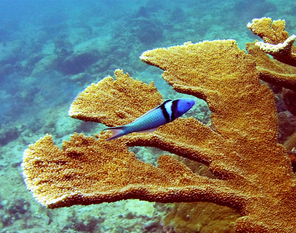 A bluehead wrasse ( Thalassoma bifasciatum ) seeks shelter amidst the branches of an elkhorn coral ( Acropora palmata ) colony.