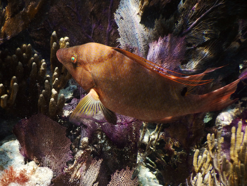A hogfish swims amongst soft corals at John Pennekamp Coral Reef State Park.