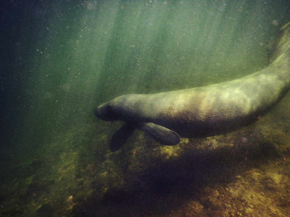 A manatee swims in the shallow waters of Biscayne National Park.