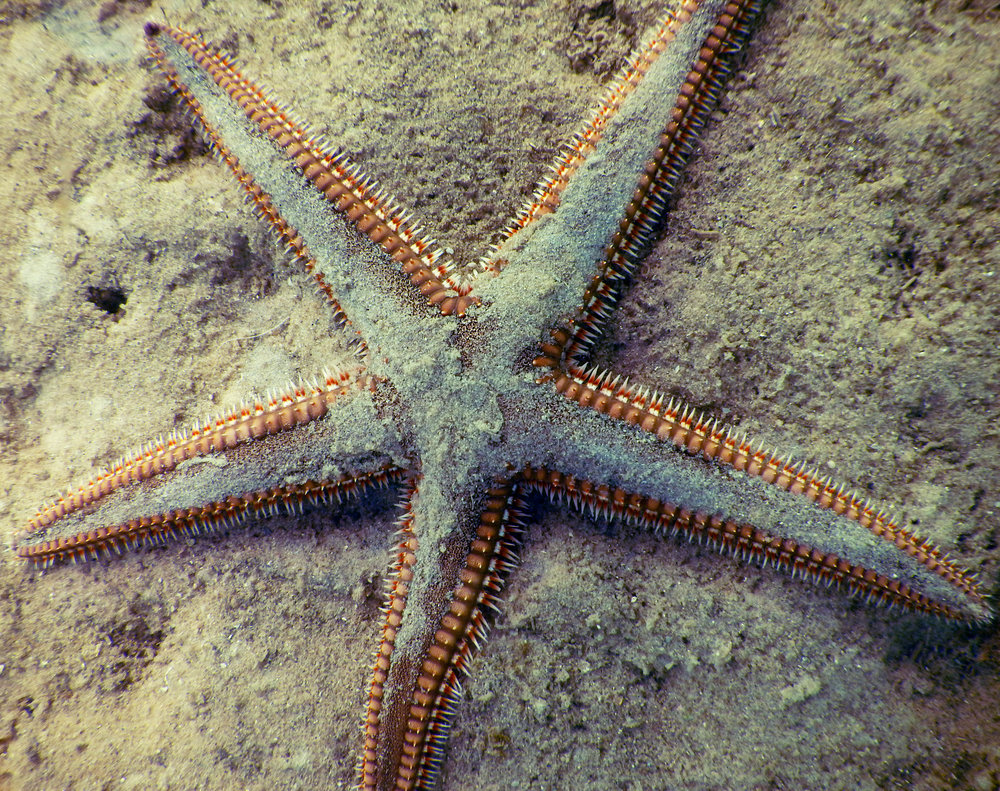 A sea star in Biscayne National Park.