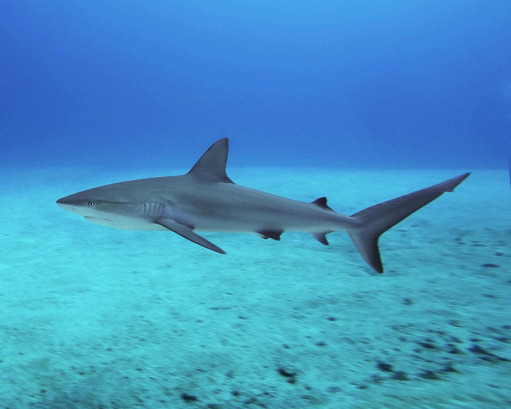 Caribbean reef shark ( Carcharhinus perezii ) off the coast of Nassau.