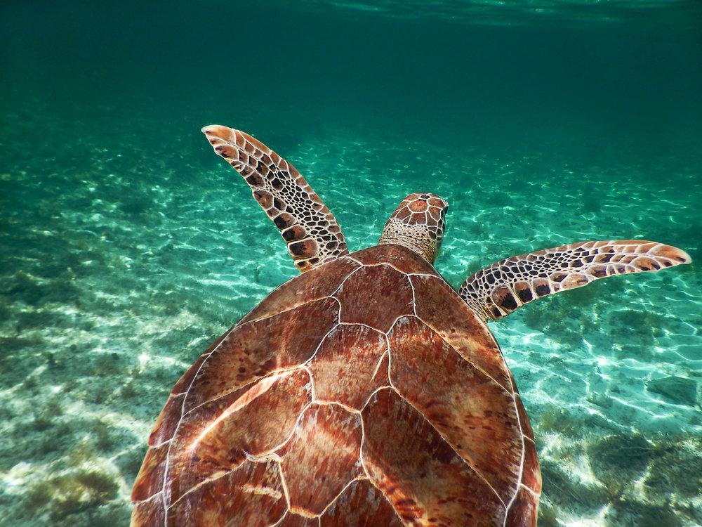 A green sea turtle ( Chelonia mydas ) glides through the clear water near Nassau.