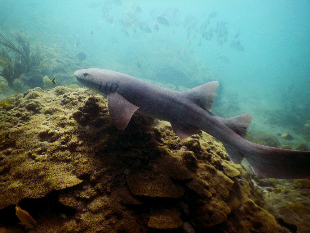 A nurse shark ( Ginglymostoma cirratum ) swims over the reef in Fort Lauderdale, FL.