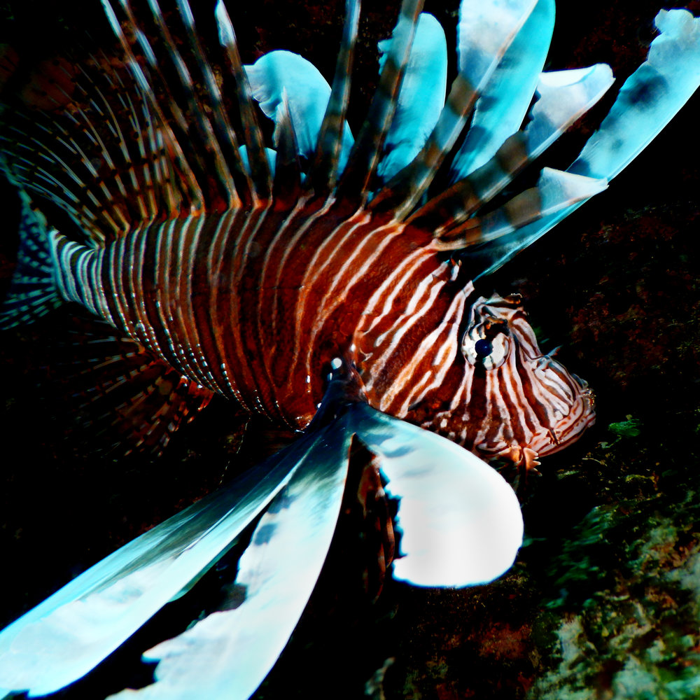 A red lionfish ( Pterois volitans ) hovers in a cave off the coast of Grand Bahama. This species is invasive in the Altantic/Caribbean.