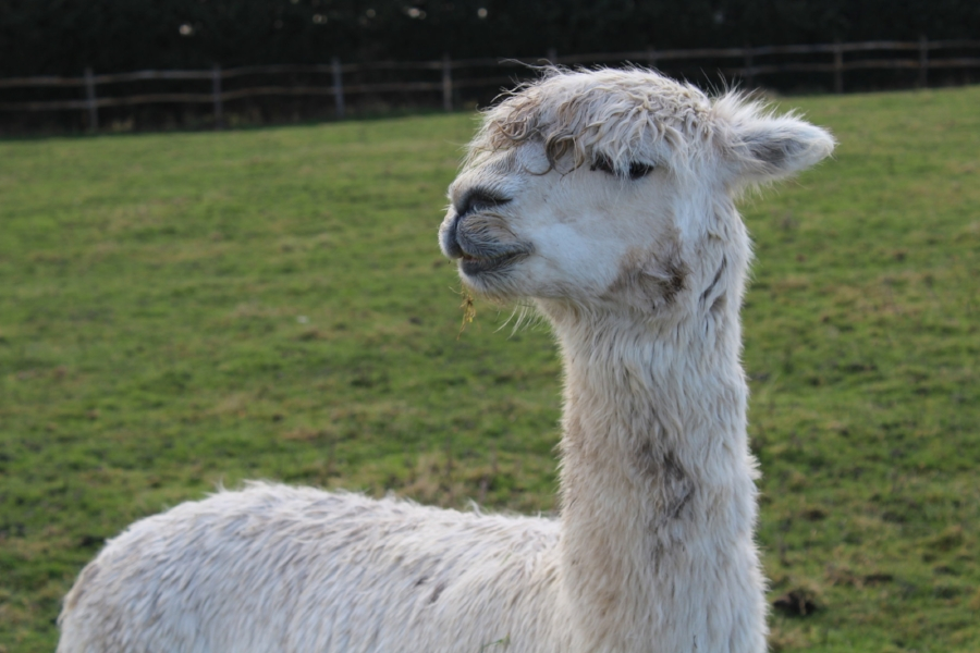 This is a rescued alpaca, who guards the rescued sheep.