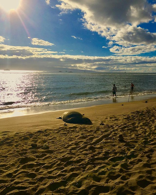 He's back and so am I :) * * * * * * #monkseal #hawaiianmonkseal #maui #lahaina #breakwall #beachtime #808state #digitalnomad #freelancer #travelmood #pacificocean🌊