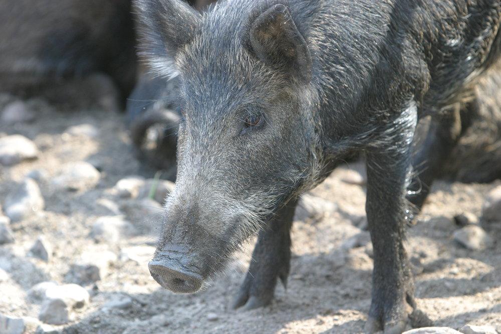 """KEYE-TV     """"Feral hogs becoming increasing problem in NW Austin neighborhood"""""""