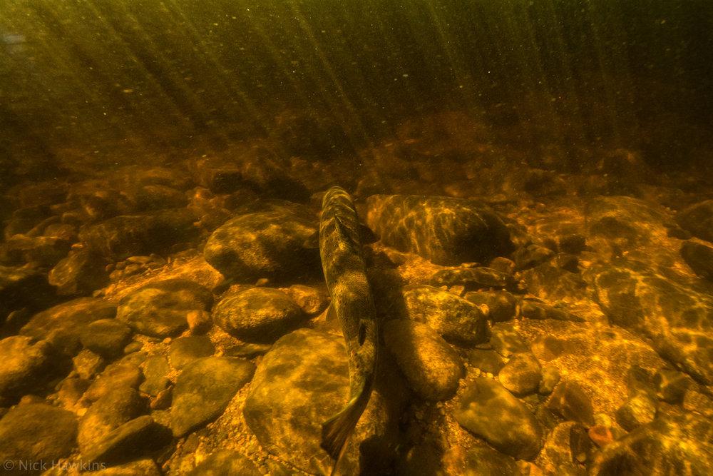 saving-salmon-Nick-Hawkins-4464.jpg