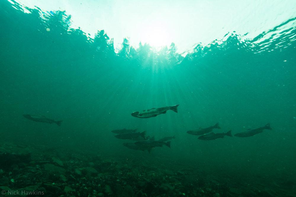 saving-salmon-Nick-Hawkins-2770.jpg