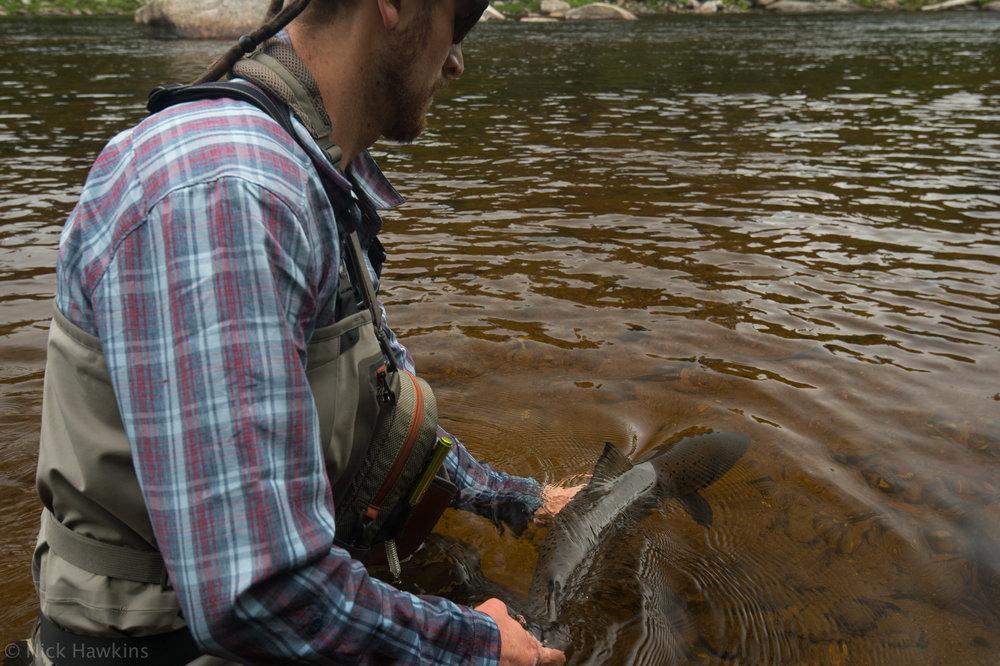 saving-salmon-Nick-Hawkins-8211.jpg