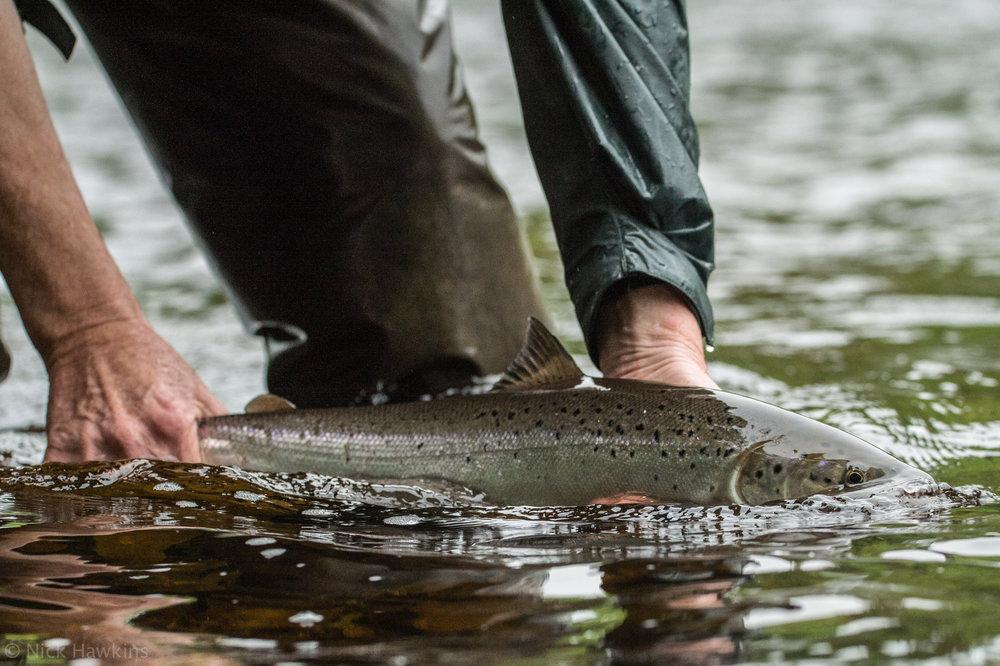 saving-salmon-Nick-Hawkins-7350.jpg