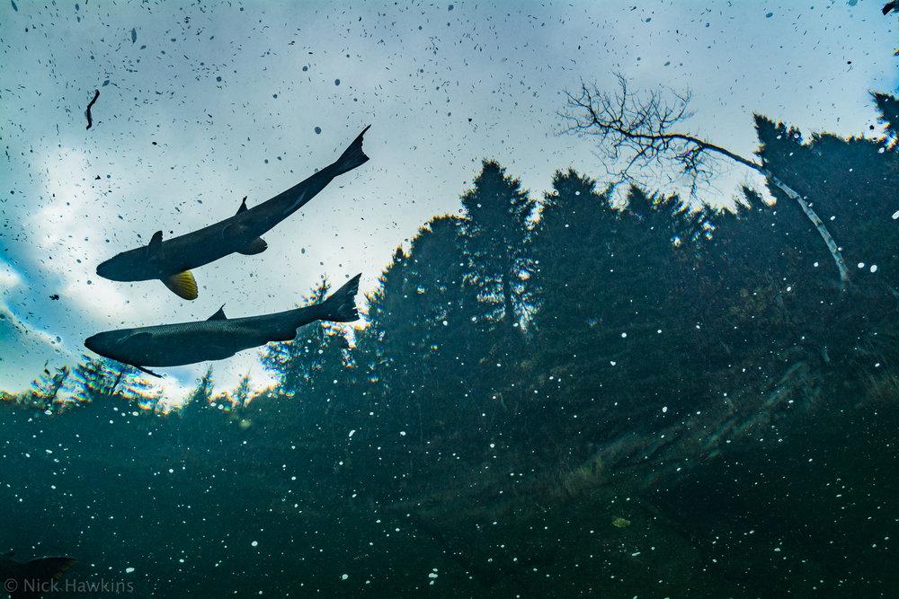 saving-salmon-Nick-Hawkins-3222.jpg