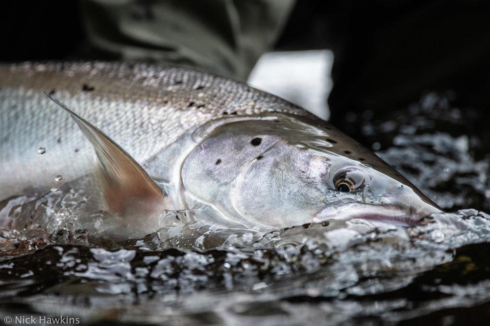 Saving-Salmon-Instagram-1421.jpg