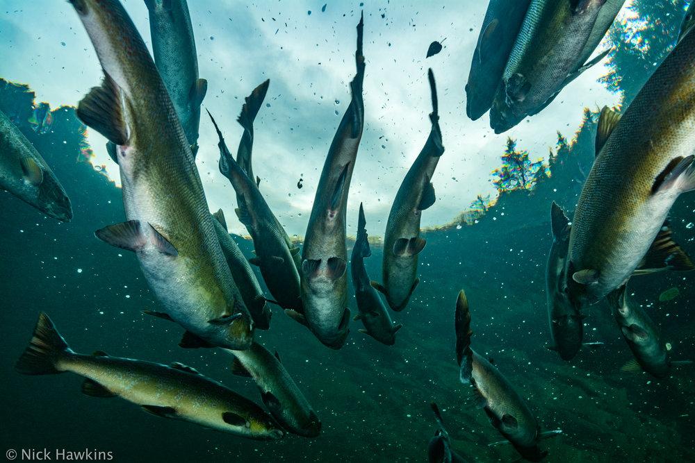 Gaspé-Saving-Salmon-Nick-Hawkins-3651.jpg