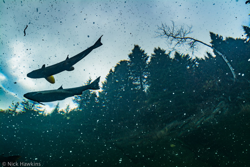 Gaspé-Saving-Salmon-Nick-Hawkins-3222.jpg