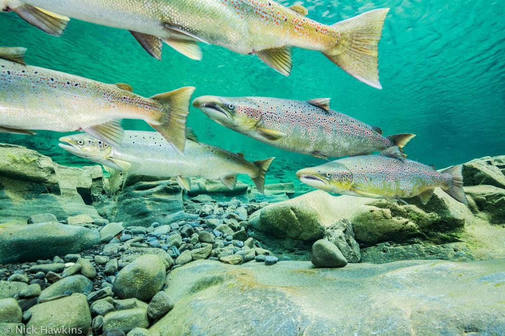 Gaspé-Saving-Salmon-Nick-Hawkins-4957.jpg