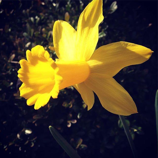 Hello beautiful! #HelloBeautiful #Hello #HelloSpring #Sunshine #ReadyOrNot #HereICome #NewBeginning #Rebirth #Spring #SpringFlowers #Daffodil #Yellow #Virginia #VirginiaIsForLovers #Beauty