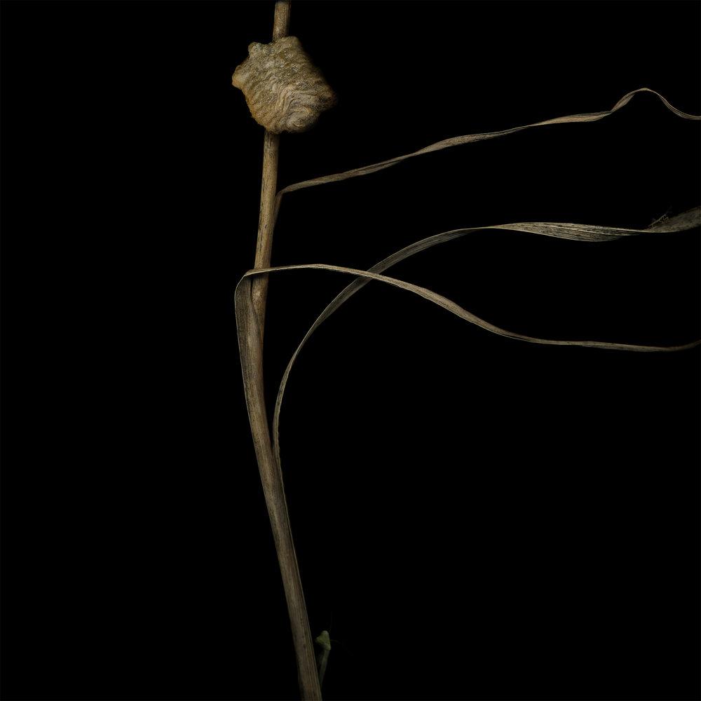 MHurstFrye_Mantis Gladiola.jpg
