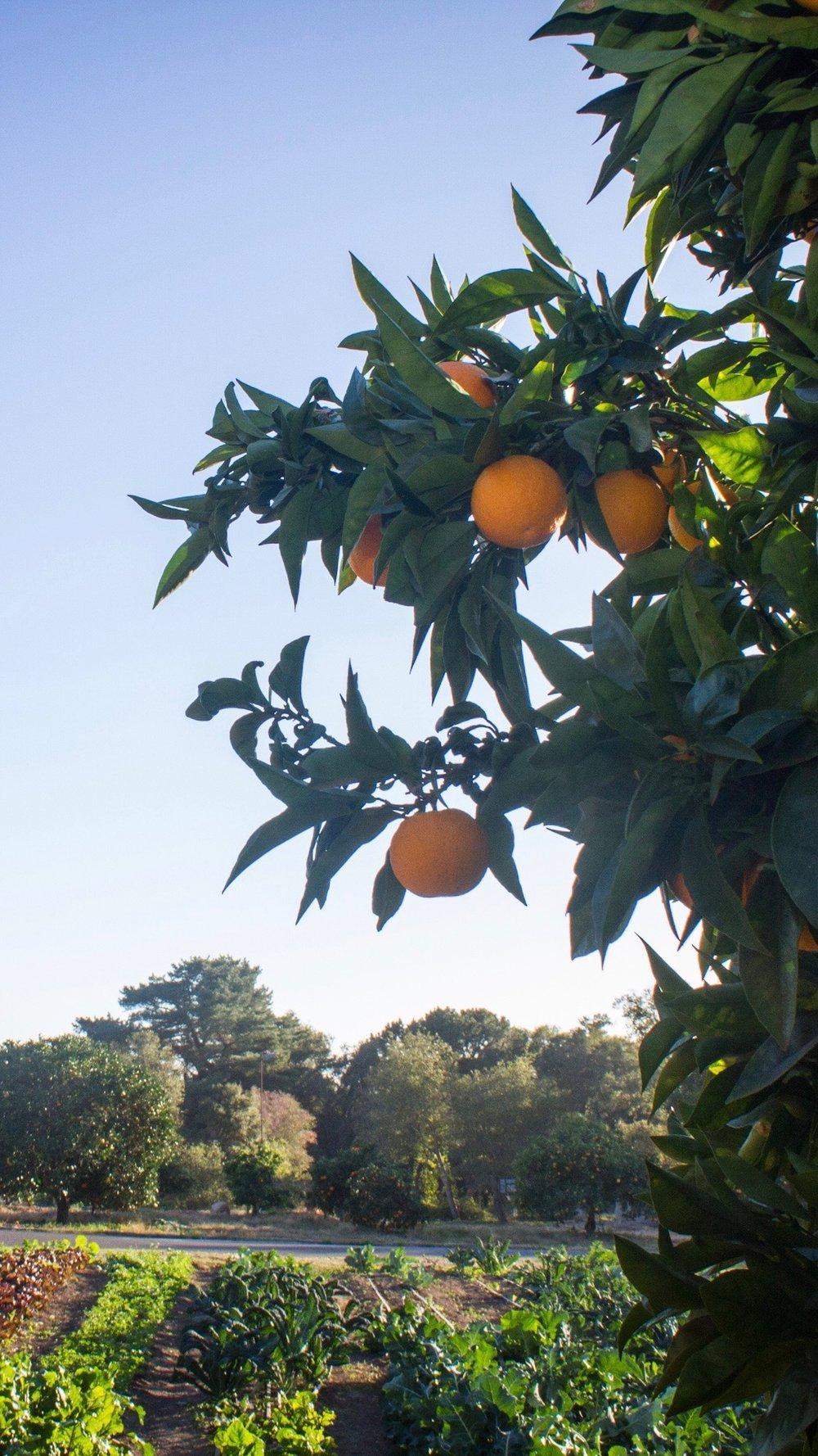 orange tree 2.jpg