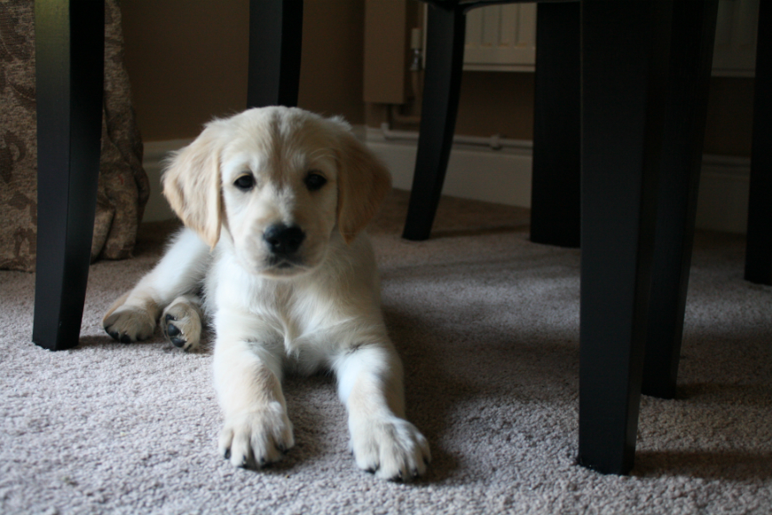cora-golden-retriever-8-week-old-puppy-london-fox-socks-uk-lifestyle-blog